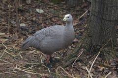 Cape Barren Goose, Cereopsis novaehollandiae Royalty Free Stock Photography