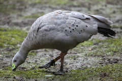 Cape Barren Goose (Cereopsis Novaehollandiae). Royalty Free Stock Photography