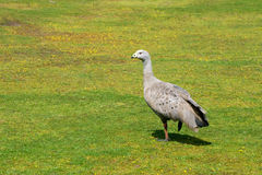 Cape Barren Goose (Cereopsis novaehollandiae), Aus. Cape Barren Goose (Cereopsis novaehollandiae) is a large goose resident in southern Australia. Photo was Royalty Free Stock Photos