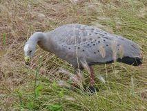 Cape Barren Goose. (Cereopsis novaehollandiae) is an Australian goose with rounded black spots on his back end a green cere at his black bill Stock Photo