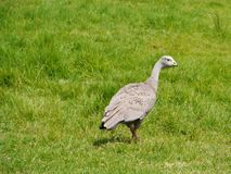 Cape Barren Goose. (Cereopsis novaehollandiae) is an Australiuan goose with rounded black spots on his back end a green cere at his black bill Royalty Free Stock Photography