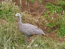 Cape Barren Goose. (Cereopsis novaehollandiae) is an Australiuan goose with rounded black spots on his back end a green cere at his black bill Stock Photography