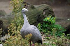 Cape Barren Goose, Cereopsis novaehollandiae. Cape Barren Goose, Cereopsis novaehollandiae on grass royalty free stock photography