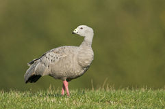 Cape Barren Goose (Cereopsis novaehollandiae) Stock Photos