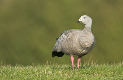 Cape Barren Goose (Cereopsis novaehollandiae) Stock Photography