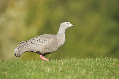 Cape Barren Goose (Cereopsis novaehollandiae) Stock Images