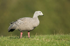 Cape Barren Goose (Cereopsis novaehollandiae). In a field UK Royalty Free Stock Photo