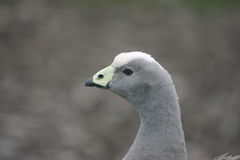 Cape barren goose, Cereopsis novaehollandiae Royalty Free Stock Images