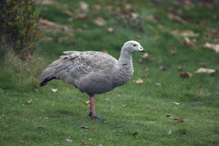 Cape barren goose, Cereopsis novaehollandiae Stock Photos