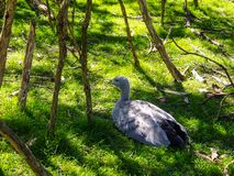Cape Barren goose in the grass. Cape Barren goose, Cereopsis novaehollandiae, in the grass in Australia Stock Images