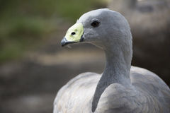 Cape Barren Goose Cereopsis Novaehollandiae - Head Only. Head shot of a Cape Barren Goose Cereopsis Novaehollandiae. Very shallow depth used, with focus only on Stock Images