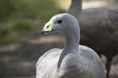 Cape Barren Goose Cereopsis Novaehollandiae - Head Only. Head shot of a Cape Barren Goose Cereopsis Novaehollandiae. Very shallow depth used, with focus only on Royalty Free Stock Photos