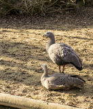 Cape Barren Goose (Cereopsis novaehollandiae). The Cape Barren goose (Cereopsis novaehollandiae) is a large goose resident in southern Australia. The species is Stock Photos