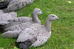 Cape Barren Goose or Cereopsis novaehollandiae. Sitting on grass Stock Photo