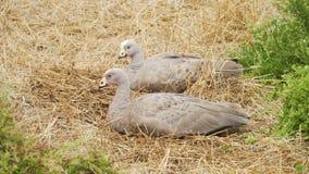 Cape Barren goose, Cereopsis novaehollandiae, sleeping in Nobbies centre in Australia stock video footage