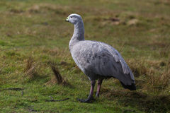 Cape barren goose Cereopsis novaehollandiae standing on grass. With natural background Royalty Free Stock Photo