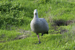 Cape Barren Goose (Cereopsis novaehollandiae) standing on one leg, looking at camera royalty free stock photography