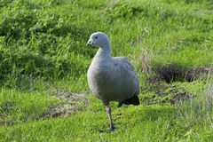 Cape Barren Goose (Cereopsis novaehollandiae) standing on one leg. Cape Barren Goose on Phillip Island, Victoria, Australia Royalty Free Stock Photos