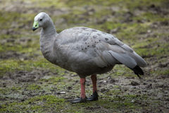 Cape barren goose (Cereopsis novaehollandiae). Wildlife animal Stock Photos
