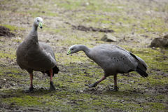 Cape barren goose (Cereopsis novaehollandiae). Wildlife animal Stock Photography