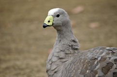 Cape barren goose. This is a close up of a cape barren goose Royalty Free Stock Image