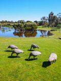 Cape Barren goose in the grass. Cape Barren goose, Cereopsis novaehollandiae, in the grass in Australia Royalty Free Stock Photo