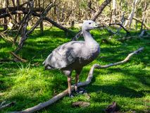 Cape Barren goose in the grass. Cape Barren goose, Cereopsis novaehollandiae, in the grass in Australia Stock Photos