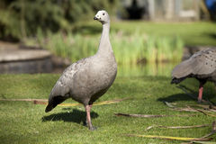 Cape Barren goose on grass in sunlight Royalty Free Stock Photos