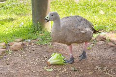 Cape Barren Goose. With a head of lettuce stock images