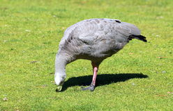 Cape Barren Goose. A large goose resident in southern Australia. The species is named for Cape Barren Island, where specimens were first sighted by European Royalty Free Stock Photo