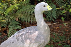 Cape Barren Goose. A large goose resident in southern Australia. The species is named for Cape Barren Island, where specimens were first sighted by European stock image