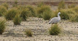 Cape Barren Goose pair, Cereopsis novaehollandiae 4K. A Cape Barren Goose pair, Cereopsis novaehollandiae 4K stock video