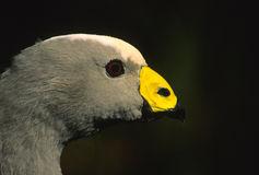 Cape Barren Goose Portrait. A close up portrait of a rare cape barren goose on kangaroo island, australia with dark background Royalty Free Stock Photos