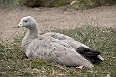 Cape barren goose. This is a side view of a cape barren goose stock photo