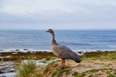 A Cape Barren Goose STANDING ON COAST stock photography
