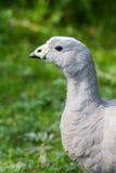 Cape Barren Goose Royalty Free Stock Photos