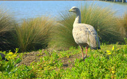Cape barren goose walking royalty free stock image