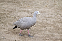 Cape barren goose. The cape barren goose is walking across the paddock Royalty Free Stock Photo