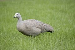 Cape Barren Goose. The  Cape Barren Goose is walking through the tall grass Royalty Free Stock Photography