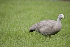 Cape Barren Goose. The  Cape Barren Goose is walking through the tall grass Stock Photos