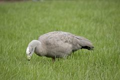 Cape Barren Goose. The  Cape Barren Goose is walking through the tall grass Stock Photography