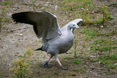 Cape Barren Goose with wings outstretched. Cereopsis novaehollandiae stock photos