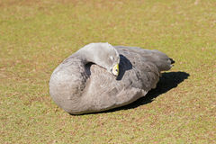 Cape Barren Island Goose with pale gray plumage, yellow cere sun Royalty Free Stock Image