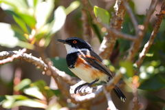 Cape Batis Stock Images