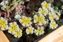 Cape blanco stonecorp flower Royalty Free Stock Photo
