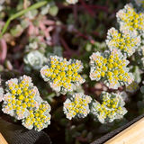 Cape blanco stonecorp flower Stock Images