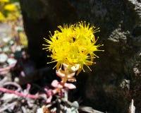 Cape Blanco Stonecrop. Bright Yellow Cape Blanco Stonecrop Sedum spathifolium royalty free stock photography