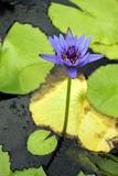 Cape blue water lily Stock Image