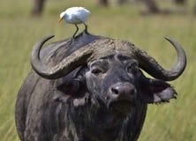 Cape Buffalo和白鹭 免版税库存照片