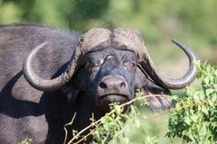 Cape Buffalo在变冷静的泥的泥戏剧保护免受昆虫 免版税库存照片